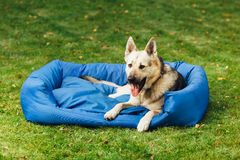 Smiling dog on his bed, green grass background Stock Photos