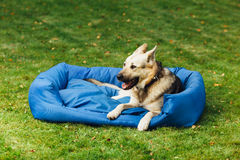 Smiling dog on his bed, green grass background Stock Image