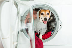 Smiling dog in hoodie grey sport style sweater sitting inside washing machine. Funny Laundry and dry cleaning pet service. Cleaning of knitted things in casual Stock Photography