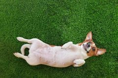 Smiling dog jack russel terrier, lying on green grass. Royalty Free Stock Image