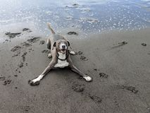 Cute happy smiling dog ready to play in play stance on sandy beach royalty free stock image