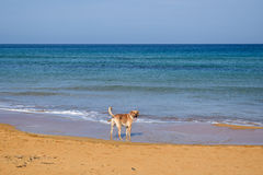 Smiling dog on a sandy beach Royalty Free Stock Image