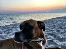 Smiling Dog on the sandy beach at sunset. Boxer dog enjoying dawn breaking on the water Stock Images