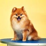 Smiling dog Spitz Royalty Free Stock Images