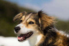 Smiling dog in the summer Royalty Free Stock Image
