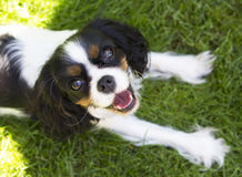 Smiling dog Royalty Free Stock Photos