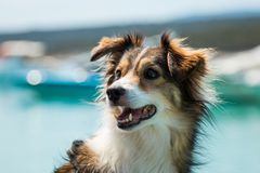 Smiling dog in the summer Royalty Free Stock Images