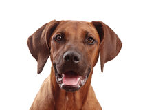 Dog face, looking to camera royalty free stock photo