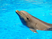 Smiling dolphin. Swimming in a pool stock images
