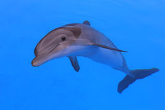 Smiling dolphin Royalty Free Stock Photos