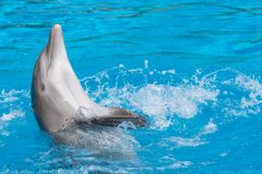 Smiling dolphin doing the backstroke. Blue water background. Smiling dolphin doing the backstroke with splashes. Blue water background Stock Image