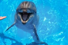 Smiling dolphin. dolphins swim in the pool Stock Image