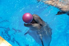 Smiling dolphin. dolphins swim in the pool Royalty Free Stock Photography