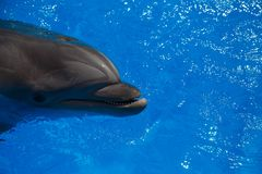Smiling dolphin. dolphins swim. In the pool Royalty Free Stock Images
