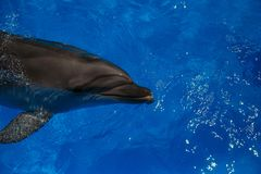 Smiling dolphin. dolphins swim. In the pool Stock Photography