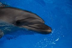 Smiling dolphin. dolphins swim. In the pool Royalty Free Stock Image
