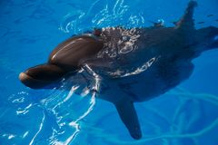 Smiling dolphin. dolphins swim. In the pool Stock Images