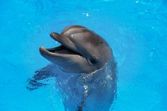 Smiling dolphin. dolphins swim in the pool Stock Images