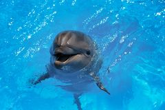 Smiling dolphin. dolphins swim in the pool Royalty Free Stock Photos