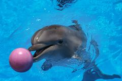 Smiling dolphin. dolphins swim in the pool Royalty Free Stock Photo