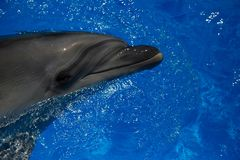 Smiling dolphin. dolphins swim. In the pool Royalty Free Stock Photography