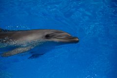 Smiling dolphin. dolphins swim. In the pool Stock Photo