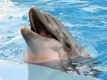 Smiling dolphin in the pool. Dolphin swims in the pool in blue water Royalty Free Stock Image