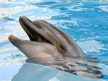 Smiling dolphin in the pool. Dolphin swims in the pool in blue water Stock Images