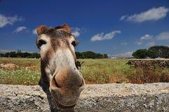 Smiling donkey. A nice donkey that seems to smile stock photography