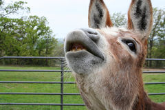 Smiling Donkey. Donkey looking as if she is smiling or trying to talk stock image