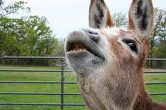 Smiling Donkey stock image