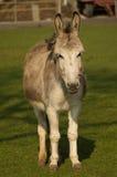 Smiling donkey Stock Photography