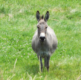 Smiling Donkey royalty free stock images