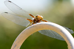 Smiling Dragonfly in landing approach Stock Image