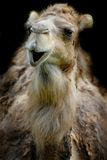 Smiling dromedary. Funny smiling dromedary or camel isolated on black Royalty Free Stock Photography