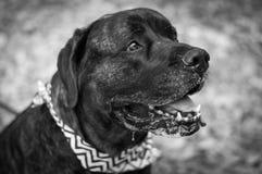 Smiling Drooling Mastiff stock photos
