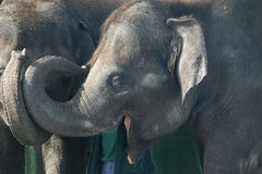 Smiling elephant. An asian elephant smiling at the Rosamond Gifford Zoo Stock Photos