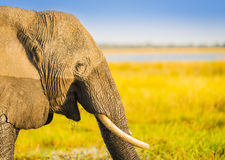 Smiling Elephant Africa Background Royalty Free Stock Photography