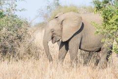 Smiling Elephant Stock Photography