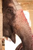 Smiling elephant with painted nose - a trunk. The smiling elephant with the painted nose - a trunk, attentively looks at us because of a stone column stock images
