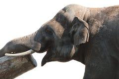 Smiling elephant Stock Images