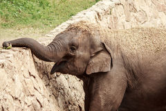 Smiling elephant. Takes food from the top of the barrier with his trunk Royalty Free Stock Images