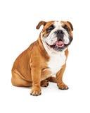 Smiling English Bulldog Sitting Stock Photography