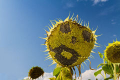 Smiling face of sunflower at summer time Royalty Free Stock Images
