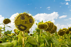 Smiling face of sunflower at summer time Stock Images