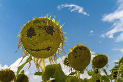 Smiling face of sunflower at summer time Stock Photography