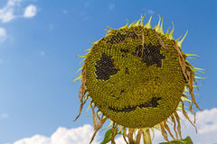 Smiling face of sunflower at summer time Stock Image