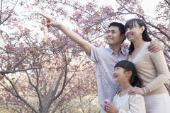 Smiling family looking up and admiring the cherry blossoms in the park in springtime, Beijing Royalty Free Stock Image