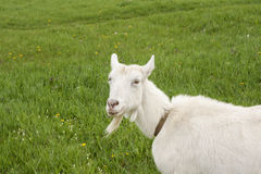 Smiling female goat on blossom meadow. Smiling female white goat on blossom meadow Royalty Free Stock Photography