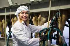 Female technician working with milking machines in cows barn Royalty Free Stock Photos